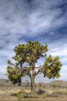 Save the Joshua Tree