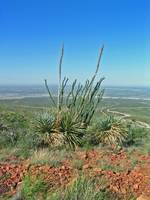 Ocotillo and Yucca