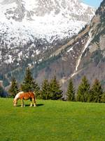 Haflinger in the Alps