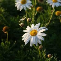 Spring Daisy by Eileen Ringwald