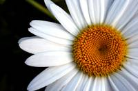 Eye of the Daisy
