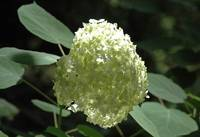 hydrangea light ball