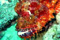 Face of Scorpionfish