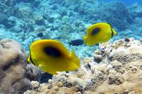 Yellow Oval-Spot Butterflyfishes