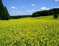 Rapeseedfield in Finland