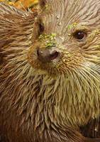 Otter with moss on face