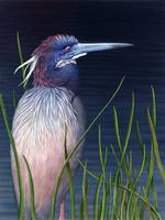 BREEDING PLUMED TRICOLORED HERON