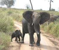 Irate Elephant Mother with very young Baby - Taran