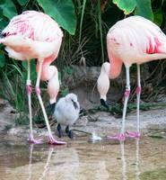 Flamingo Parents with Baby