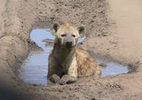Hyena at Serengeti Spa
