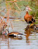 Blackbelly Whistling Ducks #2