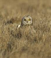 Owl sitting in field looking at the photographer