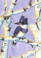 Belted Kingfisher/Birch Perch