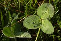 dew drops on clover
