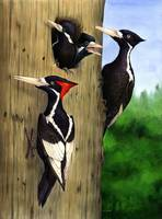 Ivory-billed Woodpecker Family