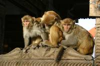 Monkeys in Shimla India