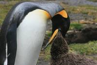King Penguin feeding its young