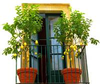 lemon trees sicily1