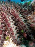 Crown of Thorns seastar
