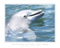 Bottlenose Dolphin - Key Largo, FL