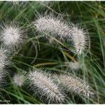 Ornamental Grass by Deanne Flouton
