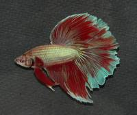 wow bicolor P1380402 Bi/tricolored male Betta Siam