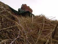 Thatching Whitehall 07