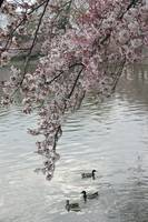 Cherry Blossom peak bloom duck