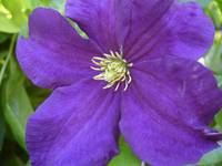 Clematis in The Garden