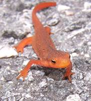 Cute Little Newt