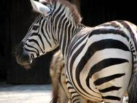 Rear View Zebras