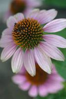 Purple Echinacea or Coneflower