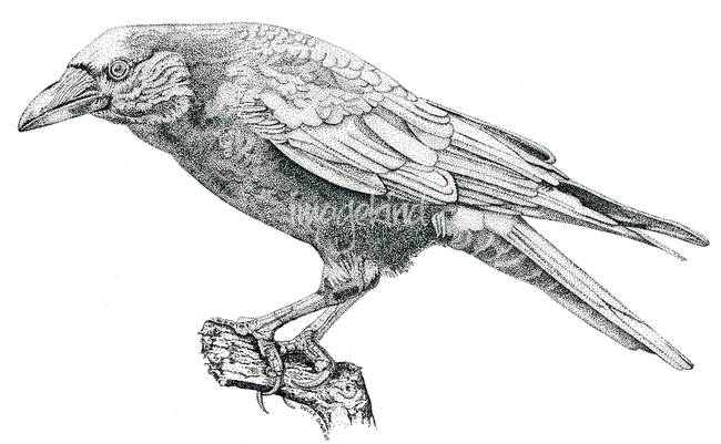 Stipple Pen and Ink Crow