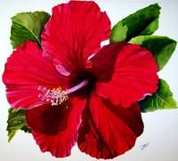 red hibiscus 004 jpg
