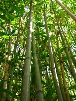 Bamboo in the Gardens