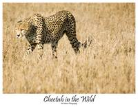 Cheetah in the Wild