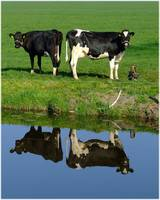 Dutch Cows:The Crop