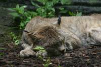 Sleeping Bobcat