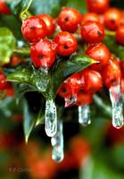 Frozen Holly Berries