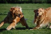 Golden Retrievers running