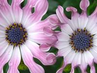 Pink Summertime Daisies