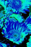 Sunflowers: Cyan Blue Black 0290