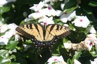 Swallowtail Butterfly at Monticello