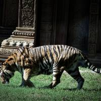 we tigers Art Prints & Posters by bob bobber