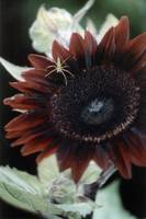 Rudbeckia Sonora and Small Green Spider