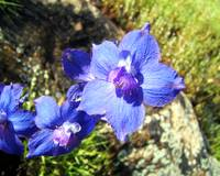 Blue Delphinium Wildflower