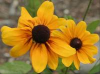 A Pair of Black-Eyed Susans
