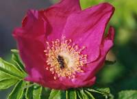 wild rose and bee 300