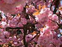 Tanglewood Blossoms~ Flowering Cherry