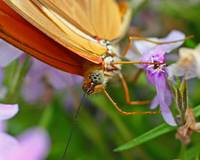 Julia butterfly (Dryas julia)
